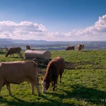 Kühe auf der Weide bei Sallach