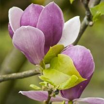 Magnolien Blühte