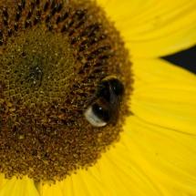 Sonnenblume-mit-Erdhummel